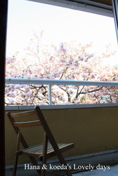 yaezakura4.jpg