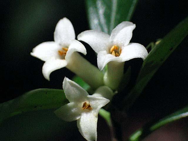 胡椒の木の花(35427 byte)