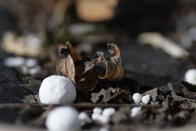 Helleborus dumetorum - ヘレボルス デュメトラム(クリスマスローズ)