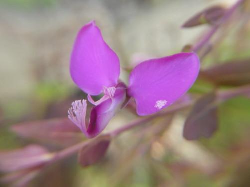 ポリガラ ミルティフォリア