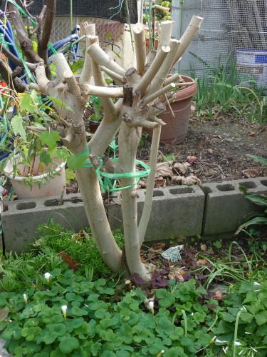 八重スイフヨウの木
