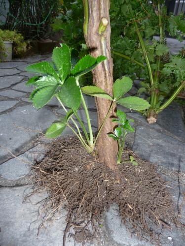 クリスマスローズこぼれ種からの苗