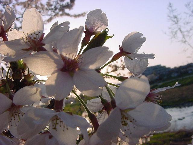 20104月桜 203