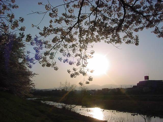20104月桜 194