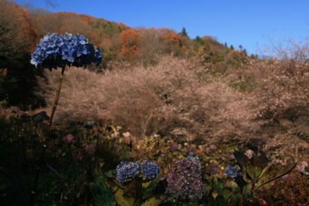 松木峠の冬桜