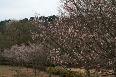 鳥野目河川公園の冬桜