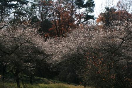 八溝県民休養公園の冬桜