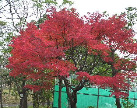 この木だけは綺麗に赤くなりました
