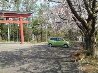 桜の神社を発見