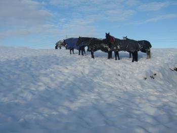 horses+in+snow_convert_20100106050928.jpg