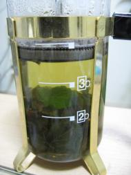 レモンバーム茶
