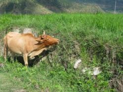 08草食む牛