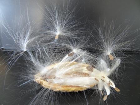 ガガイモ種子