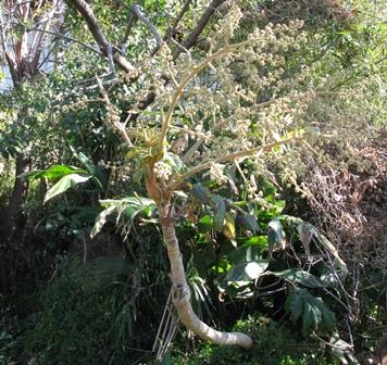 11両性花の木