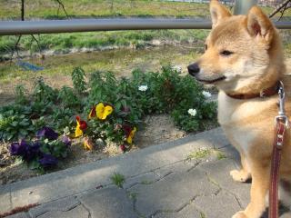 川沿いにもお花が!
