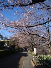 桜咲いてきた!