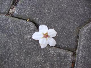 風で落ちた桜
