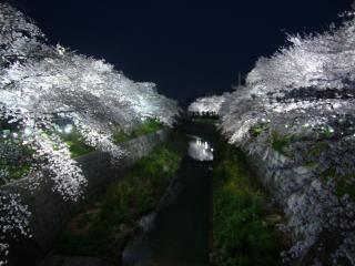 夜桜だぃ!