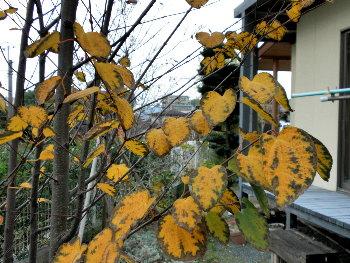 葉っぱはハート型
