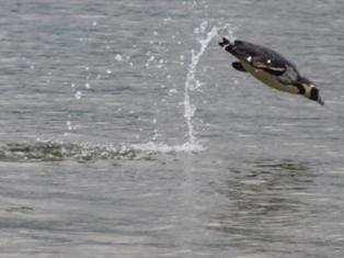 ペンギンの泳ぎ