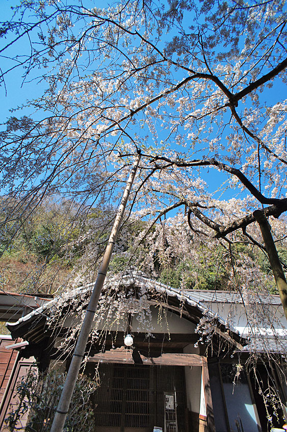 120408等覚寺枝垂れ桜1