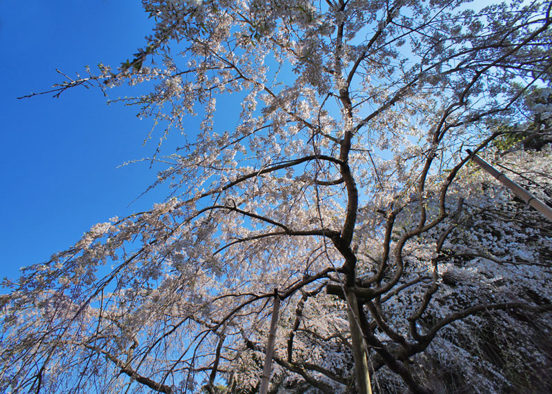 120408等覚寺枝垂れ桜2