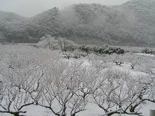 白い梅の木