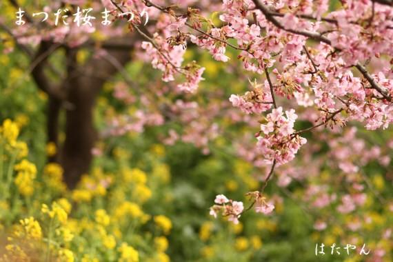 まつだ桜まつりa