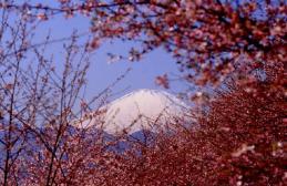 さくらと富士山1