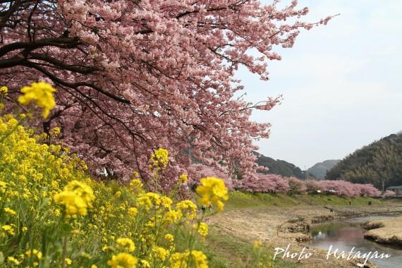 みなみ桜4a