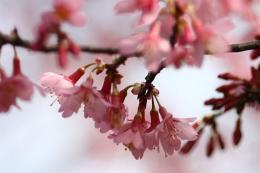 おかめ桜91