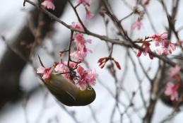 おかめ桜4a