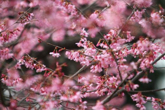 おかめ桜21