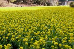 追分菜の花5