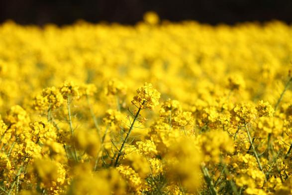 追分菜の花9