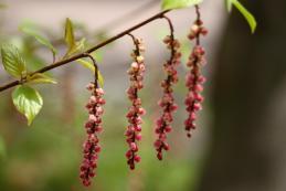 赤花キブシ1