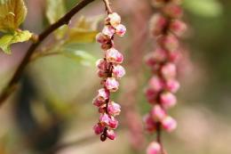 赤花キブシ2