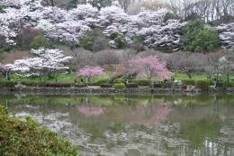 薬師池の桜1
