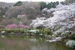 薬師池の桜2