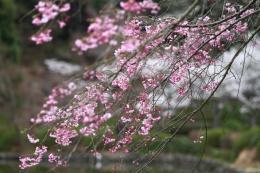 薬師池の桜4