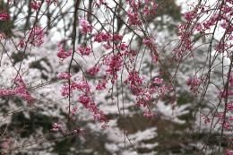 薬師池の桜7