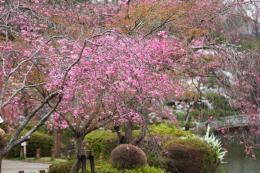 薬師池の桜9