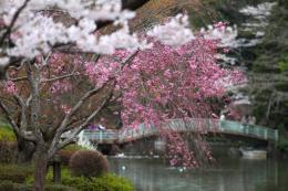 薬師池の桜5