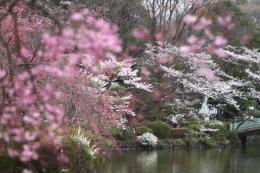 薬師池の桜8
