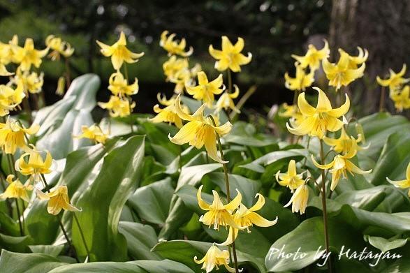 黄花カタクリ4a