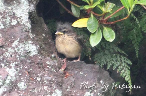 ホオジロ幼鳥5ab