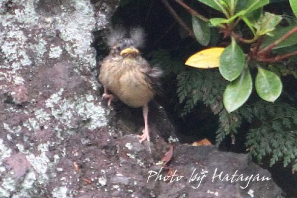 ホオジロ幼鳥6ab