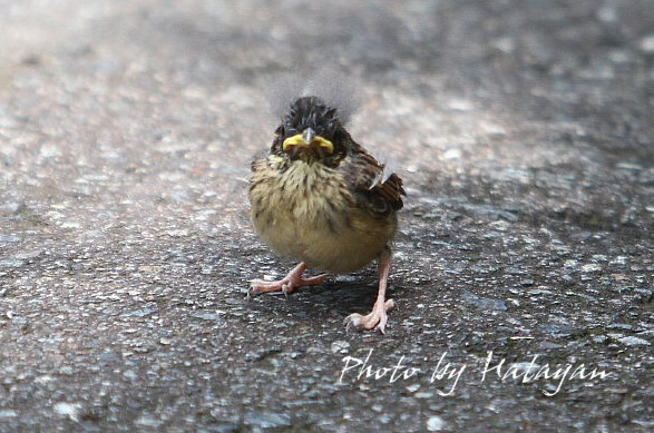 ホオジロ幼鳥1ab