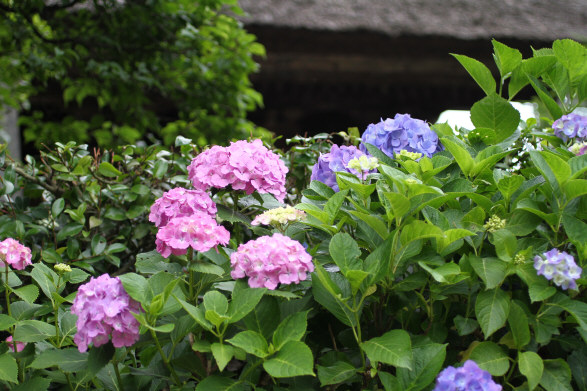 極楽寺山門と紫陽花2