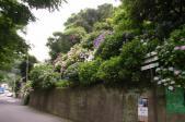 街道の紫陽花もa
